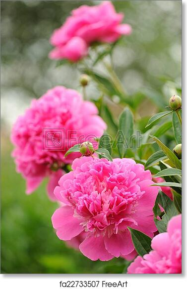 Free art print of blooming peony bush with large pink flowers a free art print of blooming peony bush with large pink flowers mightylinksfo