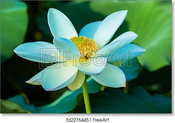 Free Art Print Of White Lotus Flower Freeart Fa22764451