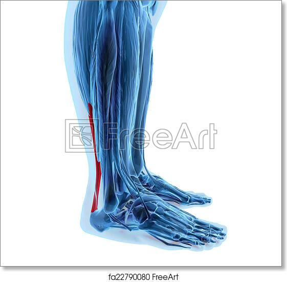 Free Art Print Of Achilles Tendon With Lower Leg Muscles 3d
