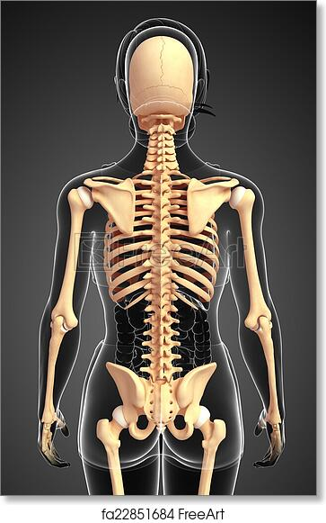 Free art print of Human skeleton back view. Illustration of human ...