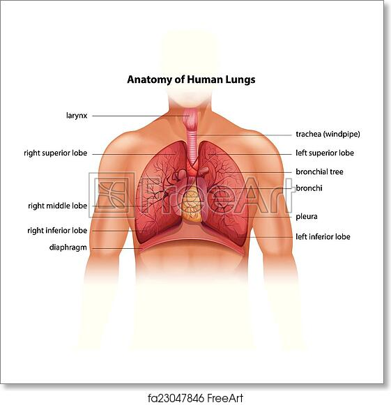 Free Art Print Of Human Lungs Anatomy Anatomy Of The Human Lungs