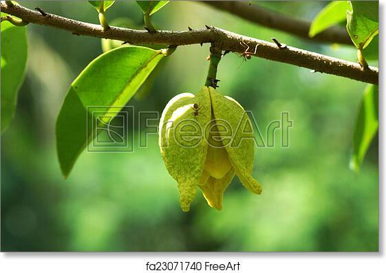 Custard Apple Tree Flowers