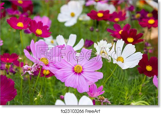 Free Art Print Of Pink Cosmos Flowers Pink Cosmos Flowers In Garden