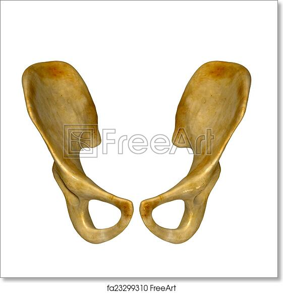 Free art print of Hip bone. The hip bone (innominate bone, pelvic ...