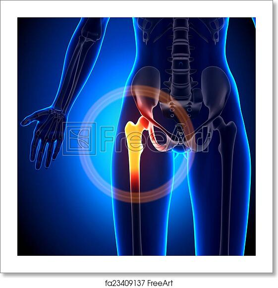 Free Art Print Of Female Hip Joint Anatomy Bones Freeart