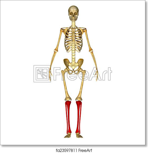 Free Art Print Of Fibula And Tibia Ankle And Foot The Fibula Is