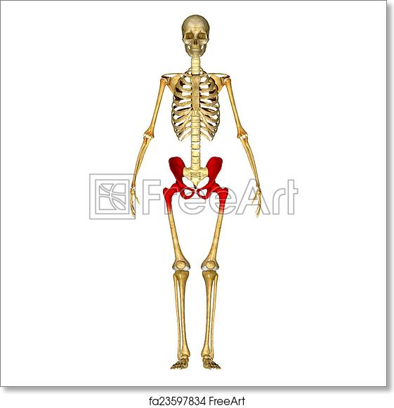 Free art print of Skeleton hip. The hip bone is formed by three ...