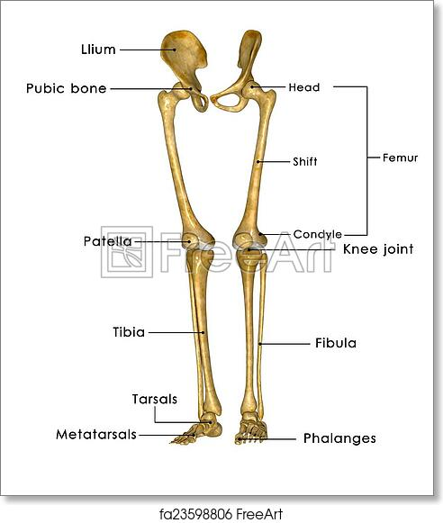 Free Art Print Of Skeleton Legs With Hip The Hip Joint Is One Of