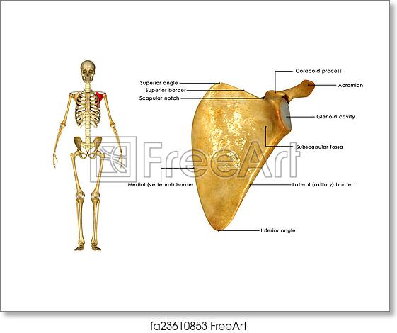 Free Art Print Of Scapula. In Anatomy, The Scapula (plural