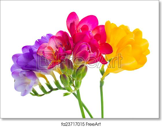 Free art print of blue pink and yellow freesia flowers blue pink free art print of blue pink and yellow freesia flowers mightylinksfo