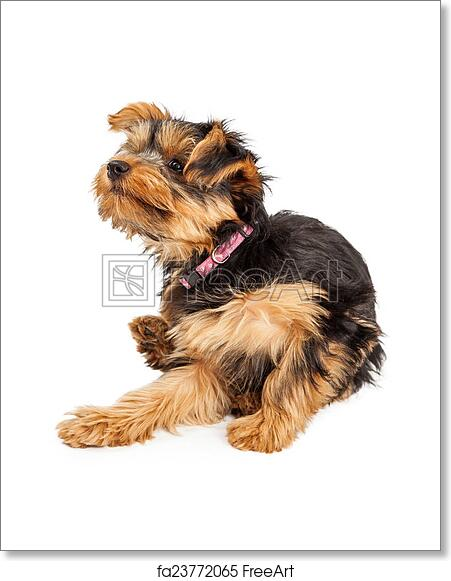 Free Art Print Of Teacup Yorkie Dog Sitting And Scratching And Itch