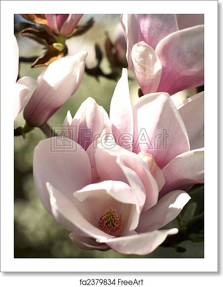 Free Art Print Of Spring Blossoms Of A Magnolia Tree Background Of