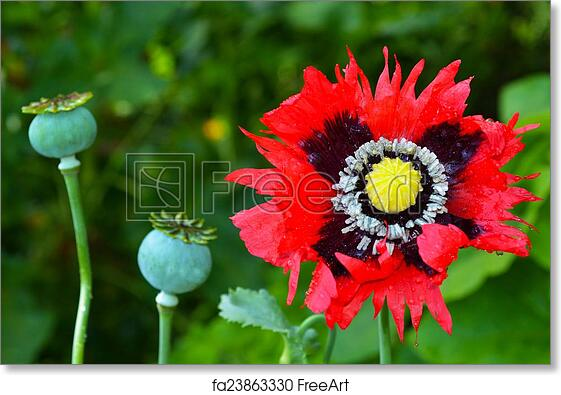 Free art print of opium poppy papaver somniferum opium poppy free art print of opium poppy papaver somniferum mightylinksfo