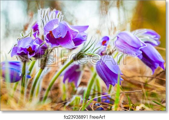 Free art print of wild young pasqueflower in early spring flowers free art print of wild young pasqueflower in early spring flowers pulsatilla pat freeart fa23938891 mightylinksfo