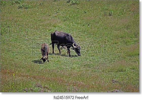 Free art print of Female Murrah buffalo and calf