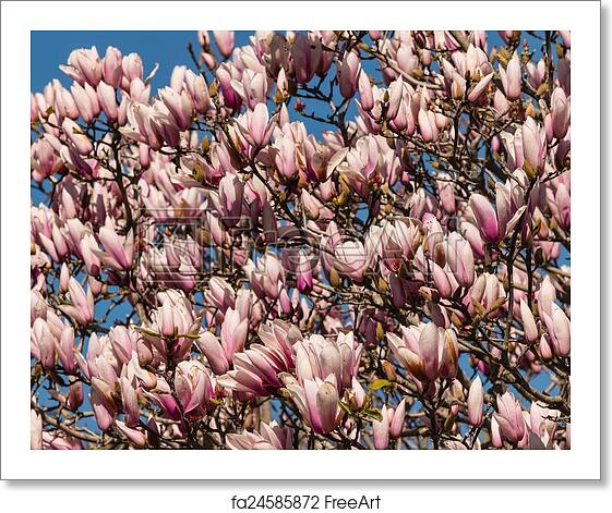 Free Art Print Of Magnolia Tree In Full Bloom Freeart Fa24585872