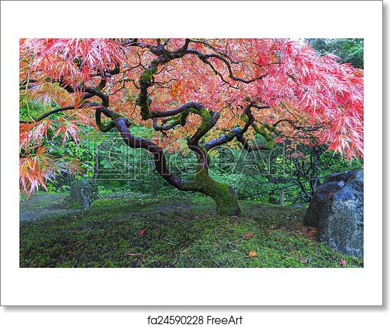 Free Art Print Of Old Maple Tree At Japanese Garden Old Red Lace