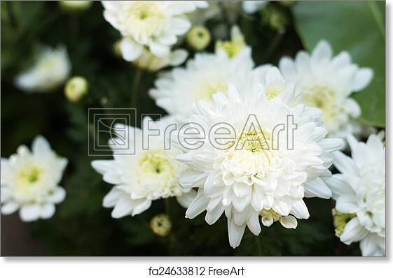 Free art print of white chrysanthemum flower freeart fa24633812 free art print of white chrysanthemum flower mightylinksfo