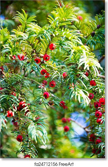 free art print of taxus baccata european yew tree taxus baccata