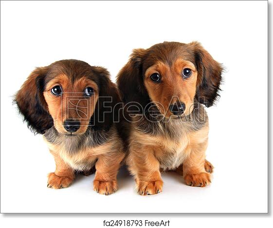 Free art print of Dachshund puppies