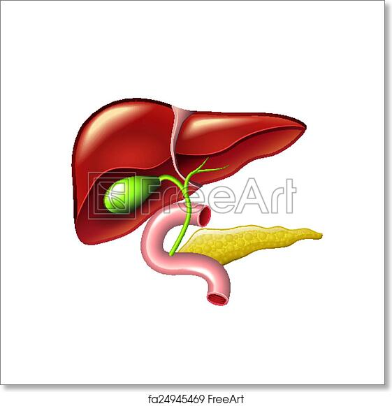 Free Art Print Of Human Liver Gallbladder Pancreas Anatomy Vector