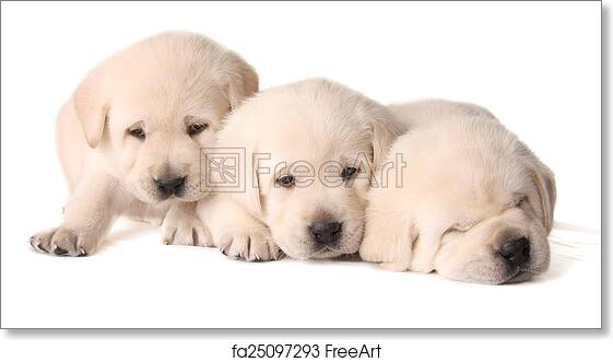 Free Art Print Of Yellow Lab Puppies Three Yellow Lab Puppies
