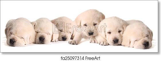 Free Art Print Of Yellow Lab Puppies Six Yellow Lab Puppies Three