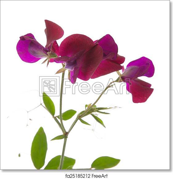 Free art print of sweet pea flowers sweet pea flowers isolated on free art print of sweet pea flowers mightylinksfo