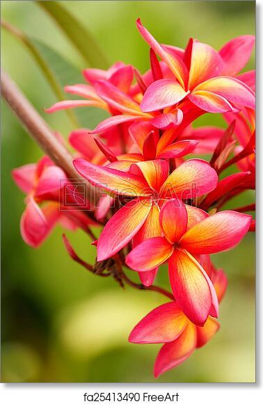 Free art print of pink plumeria flowers pink plumeria flowers on a free art print of pink plumeria flowers mightylinksfo