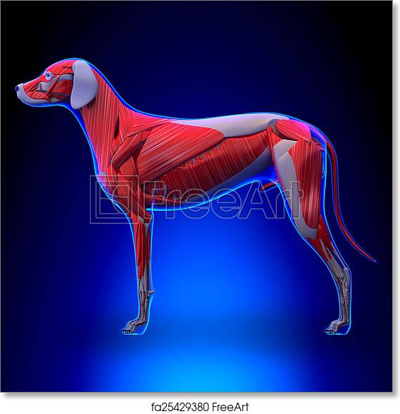 Free Art Print Of Dog Muscles Anatomy Muscular System Of The Dog