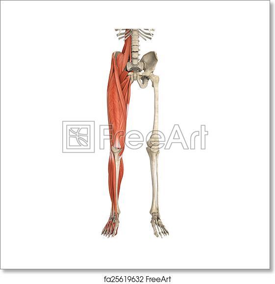 Free art print of Legs Muscles Anatomy