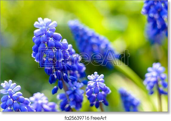 Free Art Print Of Small Blue Flowers At Spring Small Blue Flowers