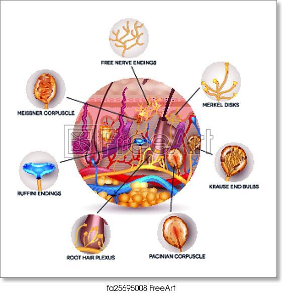 Free Art Print Of Skin Anatomy And Sensory Receptors In The Skin