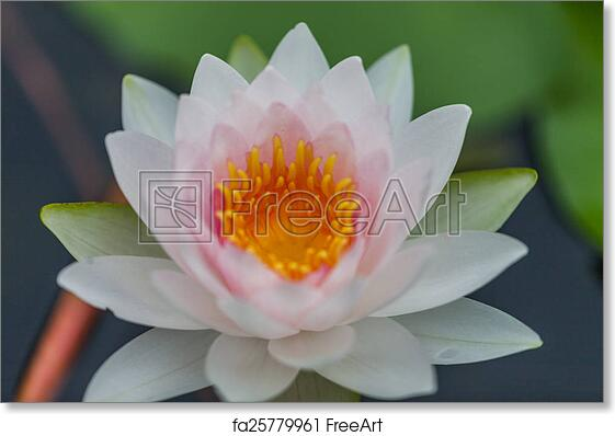 Free Art Print Of White Lotus Flower White Lotus Flower Thailand