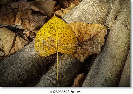 Free art print of Dry leaves of the Bodhi tree