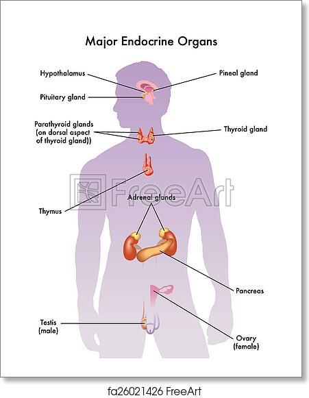 Free Art Print Of Endocrine System Medical Illustration Of The