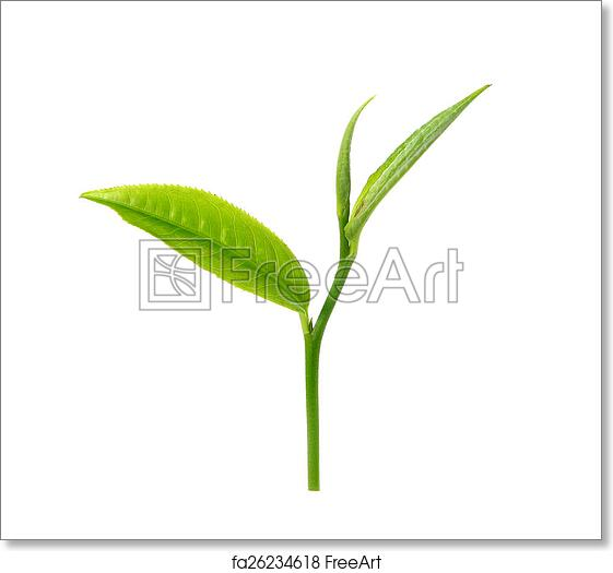 Free art print of Green tea leaf isolated on white background