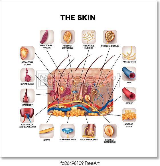 Free Art Print Of Skin Anatomy Skin Anatomy Detailed Illustration