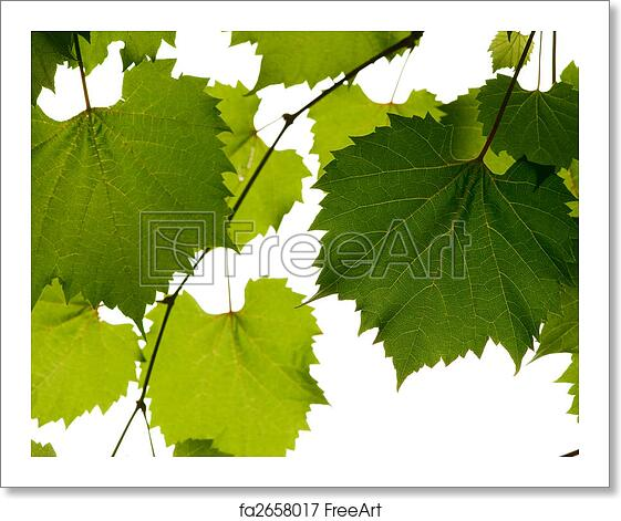 Free Art Print Of Wild Grape Leaves Green Background Freeart Fa2658017