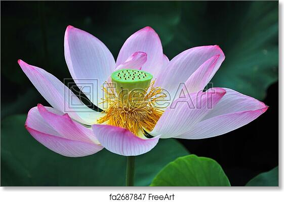 Free Art Print Of Lotus Flower In Full Bloom Lotus Flower In Full