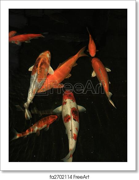 Free Art Print Of Japanese Koi A Group Of Orange White Japanese Koi Carp Fish Freeart Fa2702114