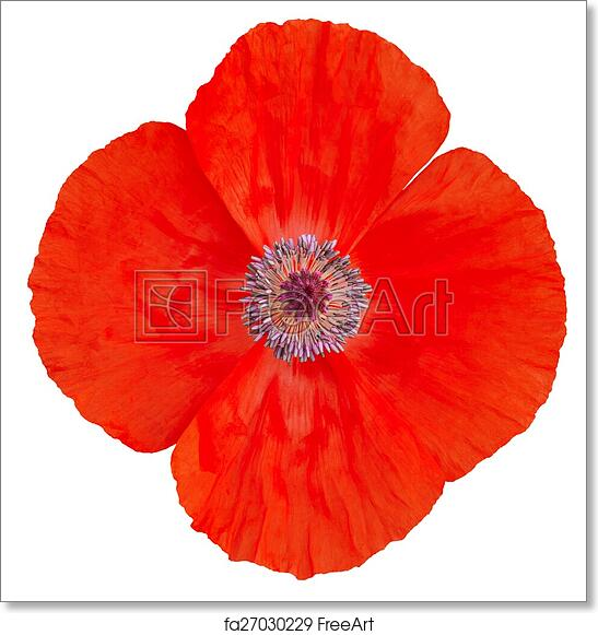 Free Art Print Of Poppy Flower Remembrance Day Freeart Fa27030229