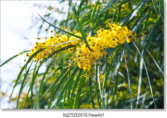 Free Art Print Of Yellow Flowers Of Mimosa Acacia Tree Close Up