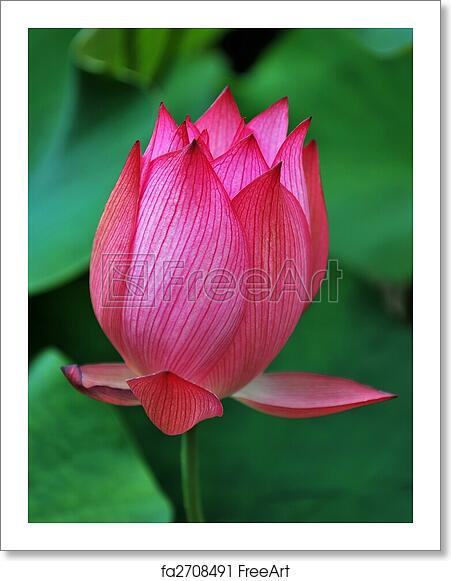 Free Art Print Of Lotus Flower Bud Lotus Flower Bud Symbolizing