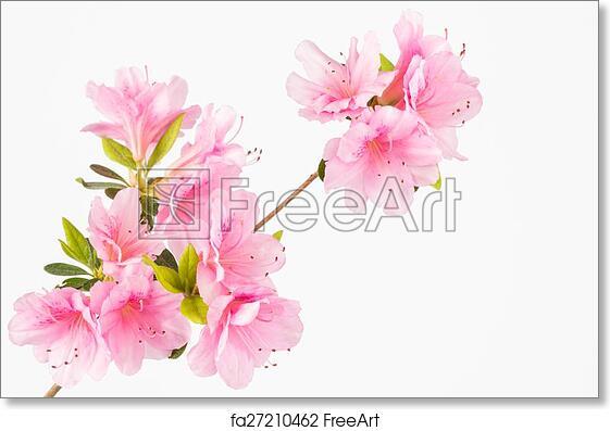 Free Art Print Of Pastel Pink Flower Cluster Light Pink Azalea