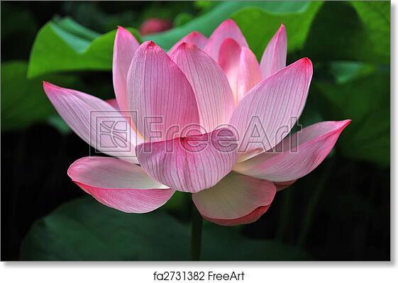 Free art print of lotus flower in full bloom lotus flower in full free art print of lotus flower in full bloom mightylinksfo