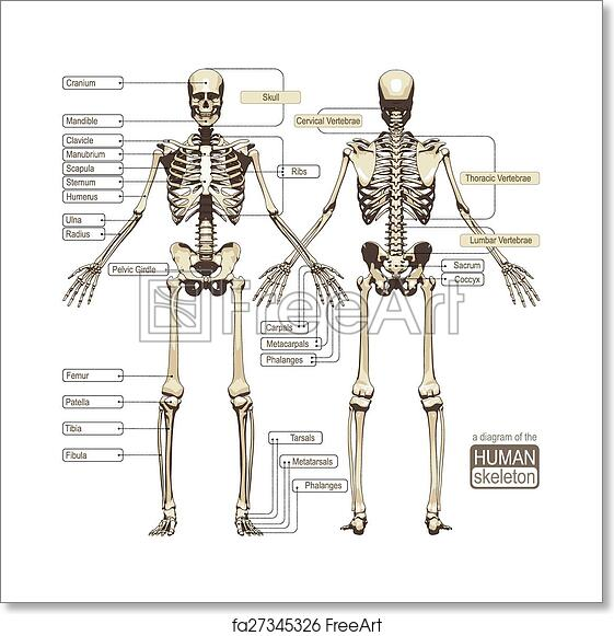 Free Art Print Of A Diagram Of The Human Skeleton A Diagram Of The