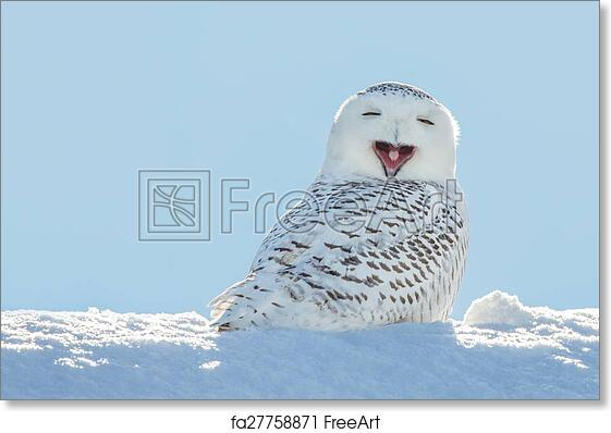 free art print of snowy owl yawning smiling in snow snowy owl