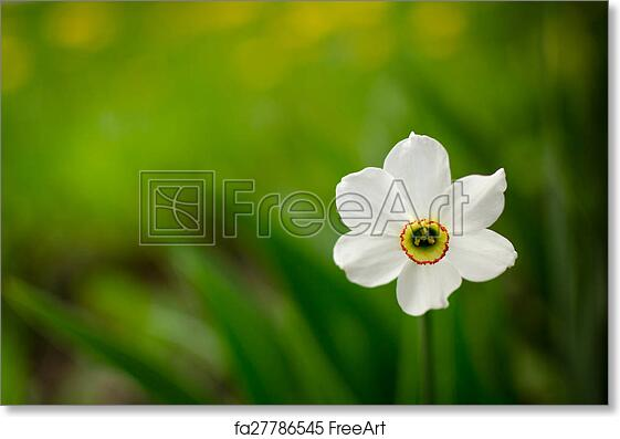 Free art print of single white daffodil in bloom solitary white free art print of single white daffodil in bloom mightylinksfo