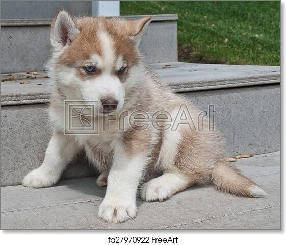 Free Art Print Of Husky Puppy Very Cute Red Husky Puppy With Blue